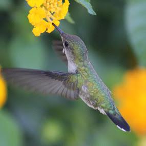 Vervain Hummingbird by Rachel Startin - Animals Birds ( bird, flight, jamaica, hummingbird, hover, hummer )