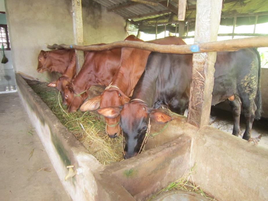 C:\Users\Administrator\Dropbox\CTV viet bai\Thinh\Bai da viet\Thang 09\Bò giống\cách nuôi bò thịt\BÁN BÒ CÁI SINH SẢN GIỐNG SIÊU THỊT CỌP PHÈN TÂN THỦY BA TRI BEN TRE LH PHÚC NHÂN 0167 222 9138.JPG