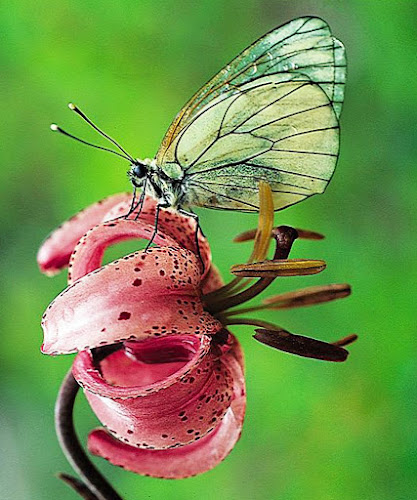 Lys & gaze by Eden Meyer - Flowers Flowers in the Wild ( butterfly, lys martagon, color, insect, flower,  )