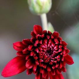 Red flower by Vivek Sharma - Flowers Single Flower ( vivekclix, close up, nature, flower, red flower,  )