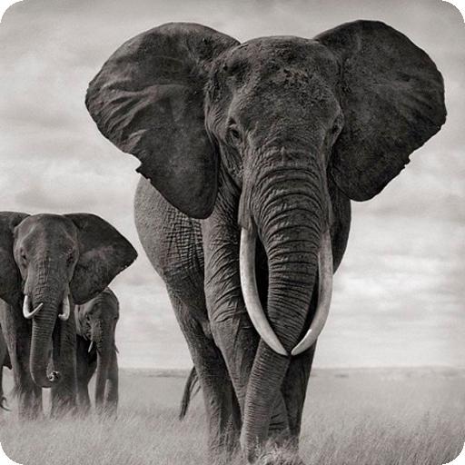 Unduh 200 Wallpaper Black Elephant HD Paling Baru