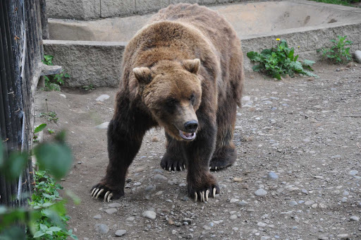 A brown bear in the Alaska Zoo. Set in a forest, the zoo focuses on arctic animals and is a rescue site for abandoned or injured wildlife.