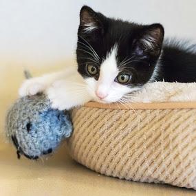 pretty kitty by Jill Zwick - Animals - Cats Kittens ( pet portrait, pet photography, cat, kitten, pet )