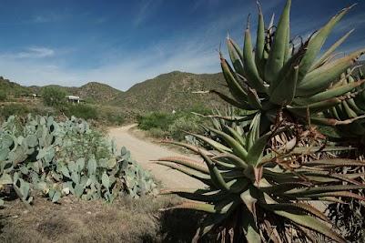 Aloe-Pflanzen und Kakteen im Groenfontein Valley