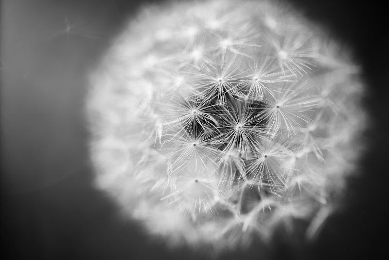 Dandelion di Enrico Coiro