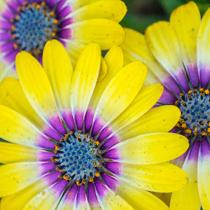 African Daisies-Yellow.jpg