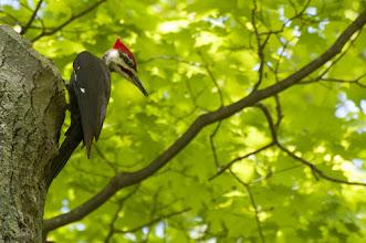 Photo: Pileated Woodpecker (Helmspecht); Kingston, ON