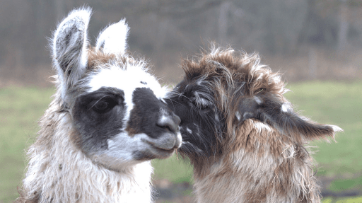 lamas de la richette tourisme nature vosges jeanménil
