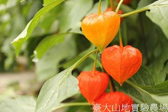 Photo: 拍攝地點: 梅峰-溫帶花卉區 拍攝植物: 中國燈籠草 拍攝日期:2012_08_30_FY
