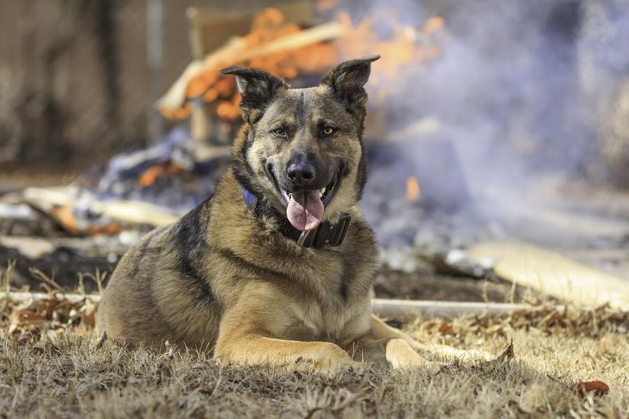by Patricia Konyha - Animals - Dogs Portraits ( dogs, german shepard,  )