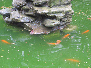 Photo: Goldfish in the Fish Pond