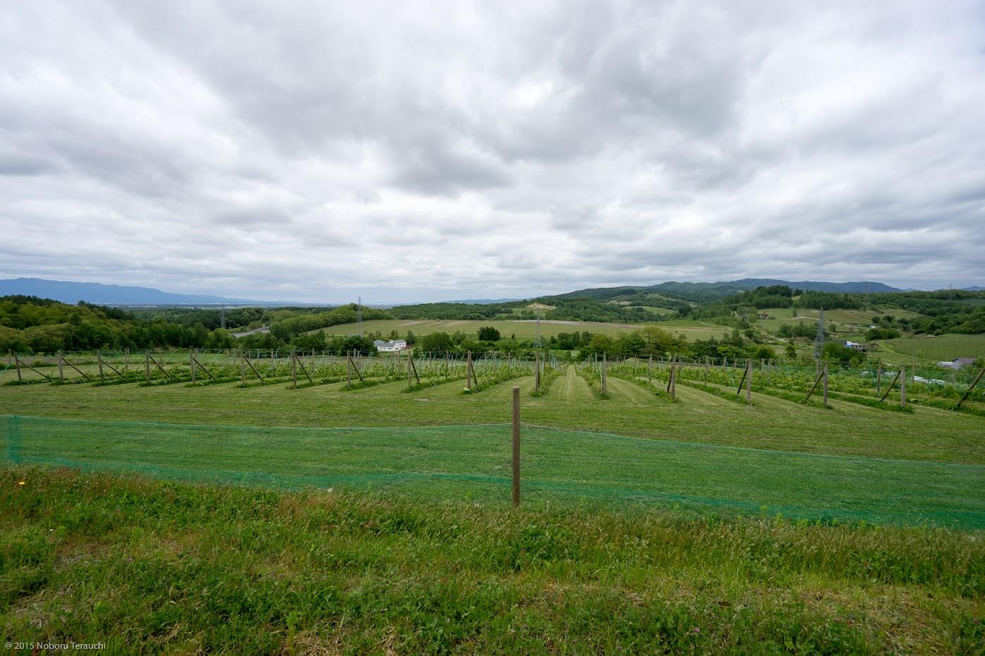 水はけの良い丘陵に広がるぶどう畑