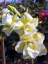 Photo: Hassadee Yellow