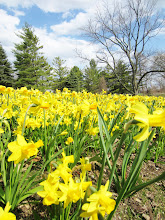 Photo: Hundreds of yellow daffodils under a sweet blue sky at Cox Arboretum in Dayton, Ohio.