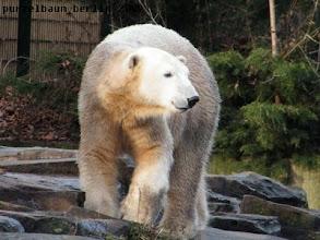 Photo: Knut ist auf Wanderschaft...