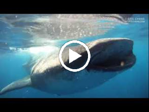 Video: Video of a whale shark's mouth while it's feeding (and swimming).