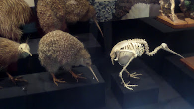 Photo: The egg of the Kiwi is what would normally come out of a bird that was six times bigger.