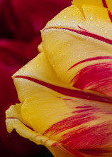 Photo: Here is a more normal shot from me to go along with my silly post. This was taken at the woodenshoe tulip festival a few weeks ago, which was the last time I went out to shoot....