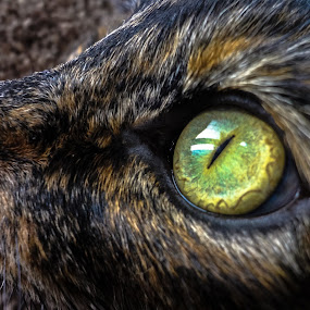 intense by Serenity Deliz - Animals - Cats Portraits ( focused, hunting, cat starring, kitty )
