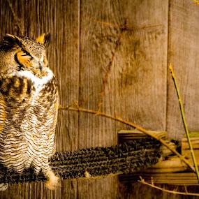 Owl Perched by Chris Mowers - Animals Birds ( bird, winter, owl, wildlife, sleeping, howell nature center )