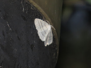 Photo: 26 Jun 13 Priorslee Lake: A particularly fine specimen of Common White Wave on one of the lamps. (Ed Wilson)