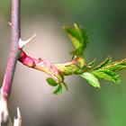 Dog rose sprout; Brote de rosal silvestre