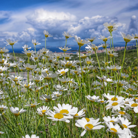 Summer... by Milena Radić - Flowers Flower Gardens ( cloudy, flowers, white flower, hills, cloudscape, clouds, sunny, landscape, summer,  )