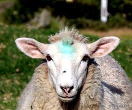 Photo: (Year 2) Day 242 -  Shaun the Sheep