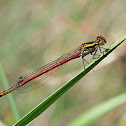 Caballito del diablo (Large red damselfly)