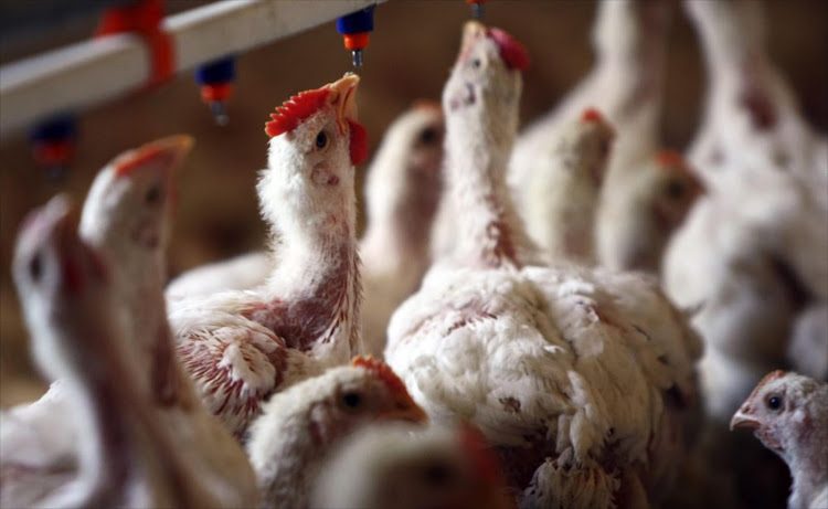 The SA Poultry Association confirmed that a second outbreak of avian influenza had occurred on a broiler breeder farm in Johannesburg. File photo.