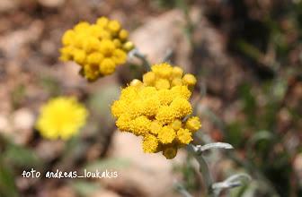 Photo: ΕΛΙΧΡΥΣΟ ΤΟΥ HELDREICH helichrysum heldreichii ΚΑΒΟΥΣΙ