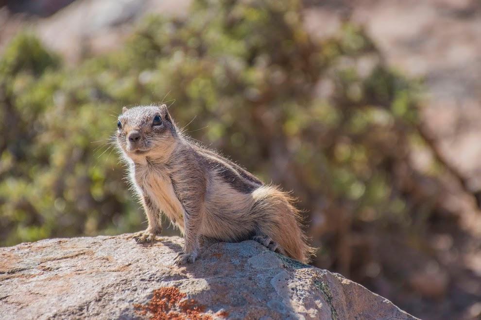eekhoornd-fuerteventura