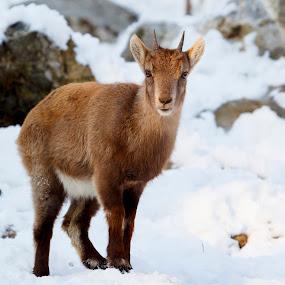 Ibex cub by Boris Podlipnik - Animals Other Mammals ( wild, winter, nature, cold, ibex cub, white, capricorn, animal )