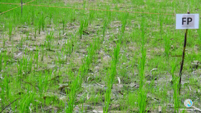 Photo: Farmer Practice (FP) experimental field in Tha Tum, Surin