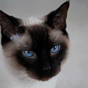 Siamese Stare by Caitlin Scroggins - Animals - Cats Portraits ( canon, cat, meow, cat eyes, blue, blue eyes, tamron 180, canon 7d, siamese, tamron, eyes )