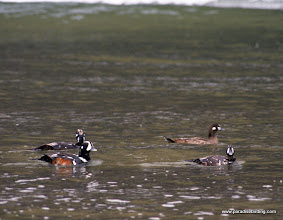 Photo: Harlequin Ducks, Birch Bay, Washington
