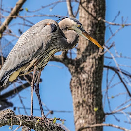 The Surveyor by Joan Sharp - Animals Birds ( blue heron, blue sky, tree, birds, branches,  )
