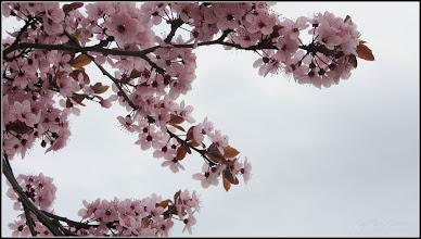 Photo: Corcodus ornamental rosu  (Prunus cerasifera Nigra) - de pe Calea Victoriei, Mr.3 - 2017.04.04