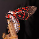 Aulean Tiger Moth