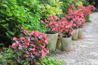 Photo: 拍攝地點: 梅峰-溫帶花卉區 拍攝植物: 秋海棠 拍攝日期: 2014_08_18_FY