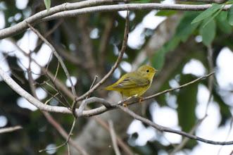 Photo: Yellow Warbler (Goldwaldsänger); Bacalar, QR