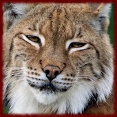 Lynx Cats wallpapers