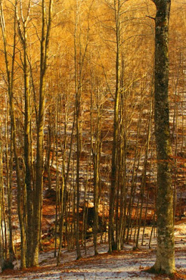 Il bosco dorato di Antonio_Trincone