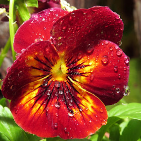Pansy by Jo-Ann de Smit - Nature Up Close Flowers - 2011-2013 (  )