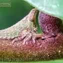 Acacia Horned Treehopper, nymph