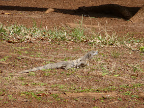 Photo: the iguanas were the size of small cats
