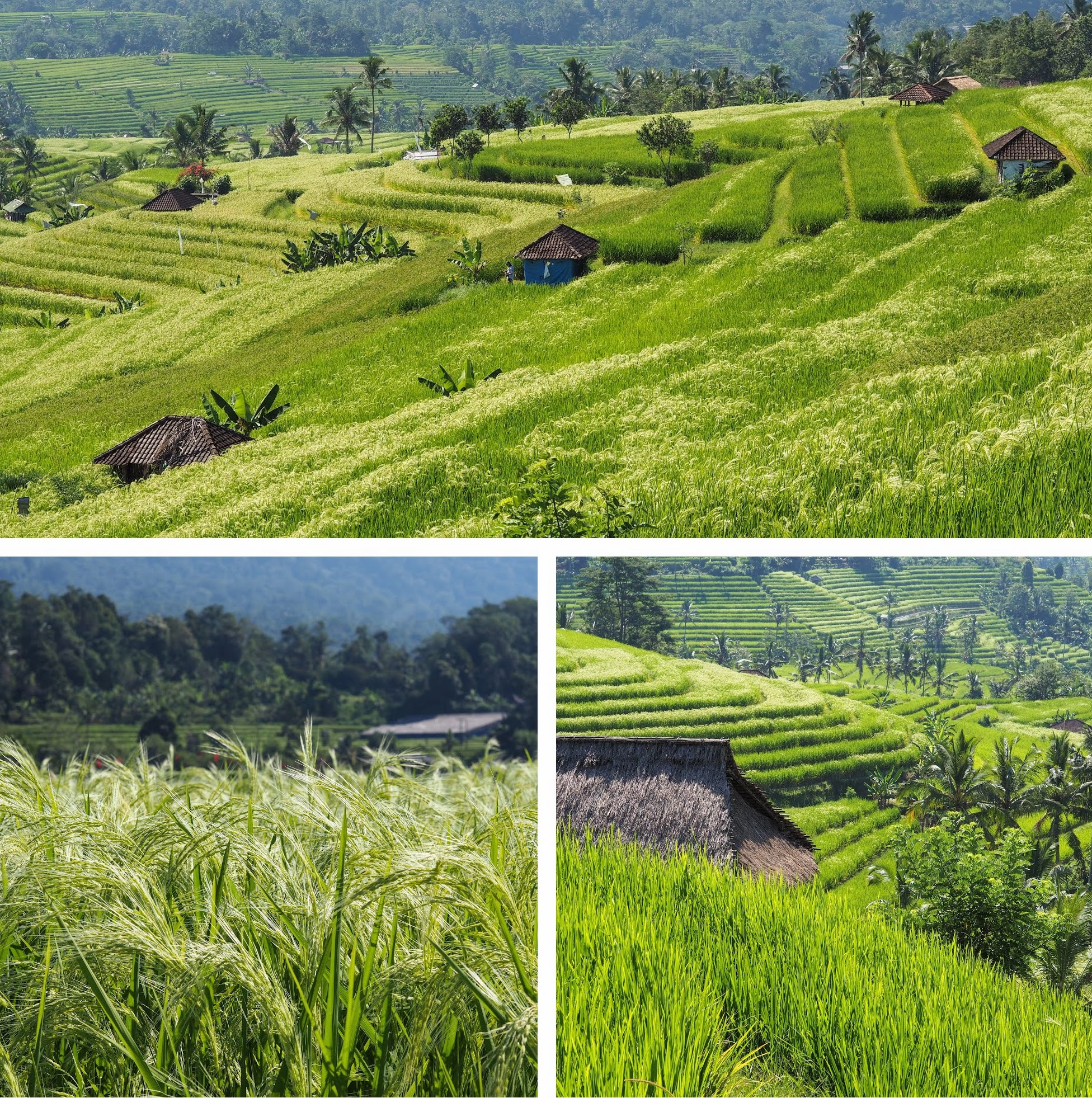 Jatiluwih Rice Terraces in central Bali