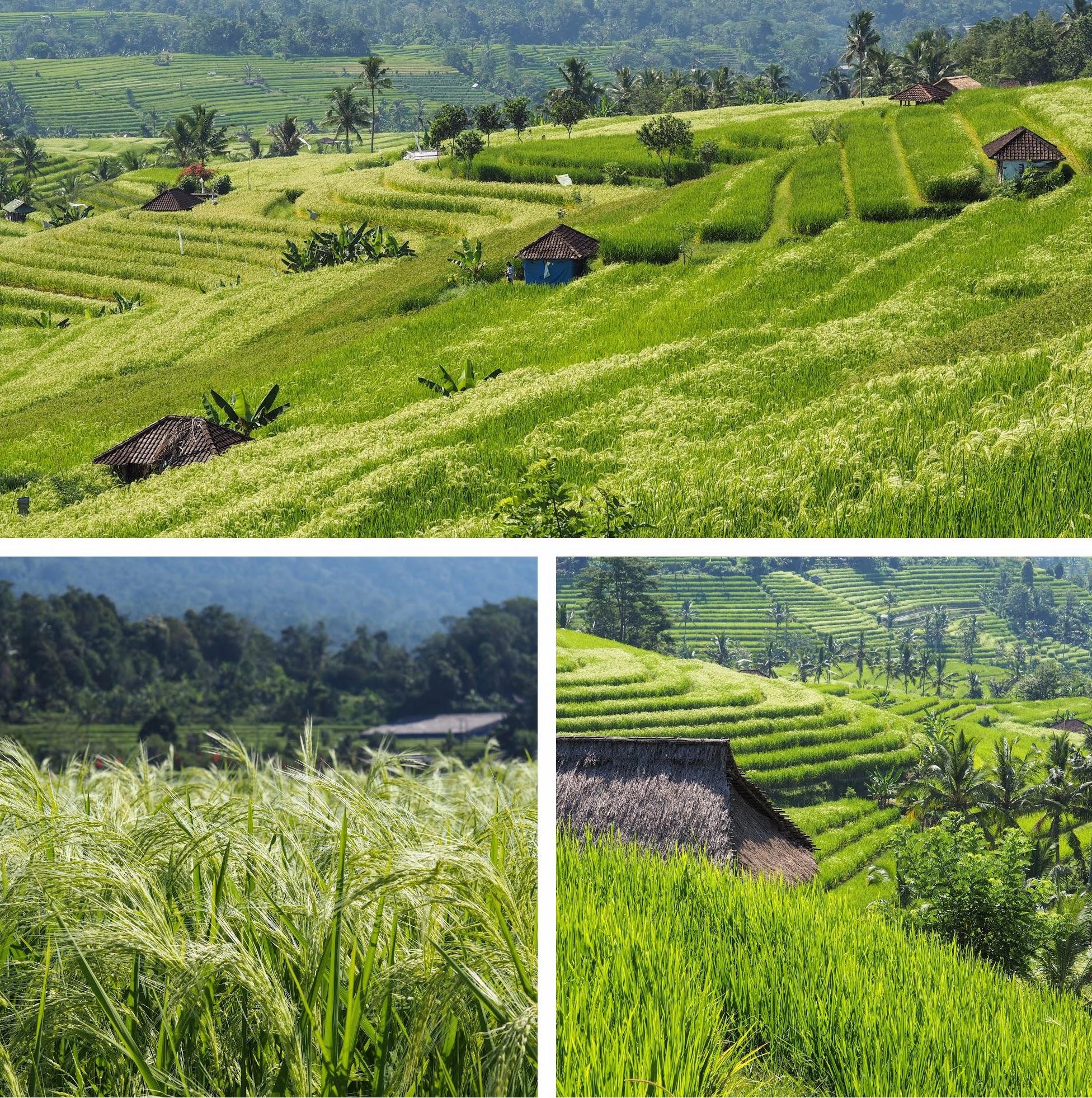 Jatiluwih Rice Terraces in central Bali