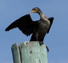 Photo: Double-crested Cormorant. Photo by volunteer Meg Luther.