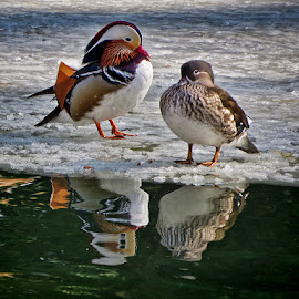 patke by Dunja Kolar - Animals Birds ( maksimir, croatia, zagreb, patke )